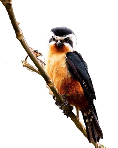 collared_falconet