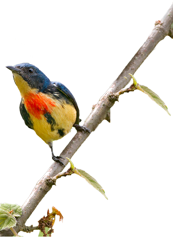fire-breasted-flowerpecker